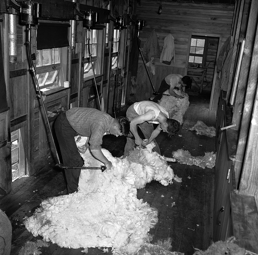 Clyde McKay, Bruce Crotty and Jim Herron shearing